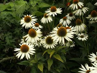 Sonnenhut - Sonnenhut, Scheinsonnenhüte, Igelköpfe, Korbblütler, Echinacea, Heilpflanze