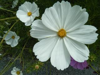 Schmuckkörbchen - Blume, Blüte, Sommer, Pflanze, Schmuckkörbchen, Cosmos, Cosmee, Kosmee, Korbblütler, Schnittblume, Gartenpflanze, Blüten