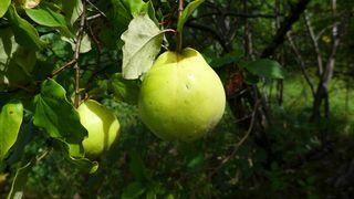 Quitte - Quitten, Quitte, Obst, Frucht, Marmelade, Kernobst, gelb, quittengelb