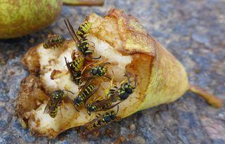 Wespen - Wespe, Insekt, Zweiflügler