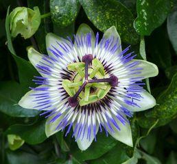 Passionsblume #1 - Blüte, Passionsblume, blau, geöffnet, Symbole, Passiflora caerulea, Strahlenkranz, Kletterpflanze
