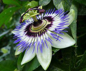 Passionsblume #2 - Blüte, Passionsblume, blau, geöffnet, Symbole, Passiflora caerulea, Strahlenkranz, Kletterpflanze