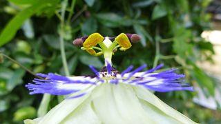 Passionsblume #3 - Blüte, Passionsblume, blau, geöffnet, Symbole, Passiflora caerulea, Strahlenkranz, Kletterpflanze, Stempel, Staubgefäße