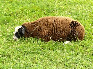 Schaf - Haustier, Wolle, Schaf, Schafe, weich, Nutztier, weiden, Weide, Milch, Fleisch, Paarhufer, Wiederkäuer, Säugetier