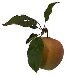 Apfel mit Blättern - Apfel, Tafelobst, Golden Delicious, Gelber Köstlicher, Kernobst, Obst, Blatt, Frucht