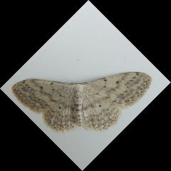 Nachtfalter - Falter, Spanner, grauer Zwergspanner, Geometridae, Nachtfalter, nachtaktiv, dämmerungsaktiv, Flügeladern, Symmetrie, symmetrisch