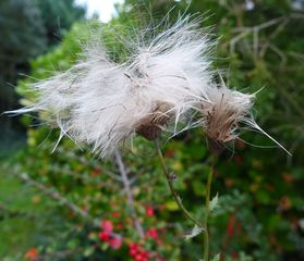 Distel - Asternartige, Korbblütler, Klettfrucht, Samen, Herbst, Frucht, Flugsamen