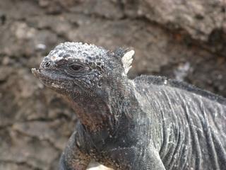 Meerechse (Amblyrhynchus cristatus) - Meerechse, Galápagos-Inseln, Galapagos, Leguanart, Schuppenkriechtier