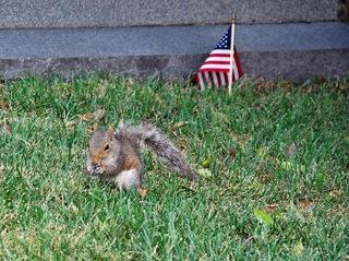 Amerikanisches Eichhörnchen - Eichhörnchen, Nagetier, Eichkätzchen, Eichkater, Katteker, Baumbewohner, Einzelgänger, Allesfresser, klettern, springen, Nager, tagaktiv, possierlich