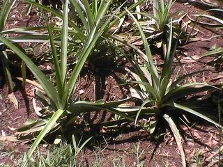 Ananaspflanzen - Pflanze, Feld, Ananas, Bromelie, Bromelien, Ackerbau, Nutzpflanze, Nutzpflanzen