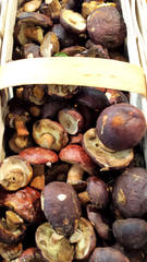 Maronenröhrling - Maronenröhrling, Maronen-Röhrling, Pilz, Speisepilz, Marone, Braunkappe, Dickröhrling