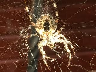 Kreuzspinne#2 - Spinne, Kreuzspinne, Tier, Spinnennetz, Webspinne, Radnetzspinne