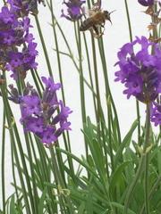 auf der Suche nach Futter... - Insekten, Biene, Saugrüssel, fliegen, Anflug, Körperteile