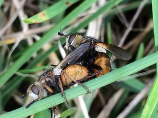 Fliegennachwuchs - Körperteile, Insekten, Fluginsekt, Zweiflügler, Sechsfüßer, Fliege, Flügel, Hautflügel, Netzaugen Geschlechtsakt