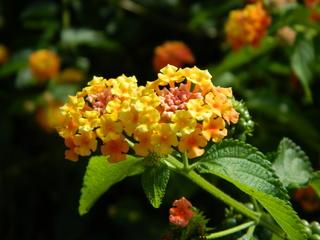 Wandelröschen#1 - Wandelröschen, Eisenkrautgewächse, Lantana camara, Blüten, orange, gelb
