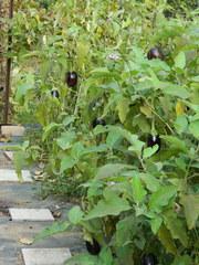 Aubergine - Pflanze - Aubergine, Nachtschattengewächs, Eierfrucht, Melanzani, Strauchfrucht, Gemüse, mediterran
