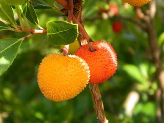 Erdbeerbaum#5 - Erdbeerbaum, Frucht, Heidekrautgewächs, Schnaps, Konfitüre