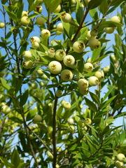 Myrte weiß - Myrte, Strauch, Myrtengewächse, Frucht, Myrtei, Likör, Heilpflanze