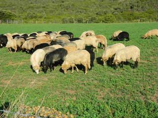 Schafherde - Schaf, Nutztier, Säugetier, Herde, schwarz, Wiederkäuer