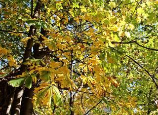 herbstliches Kastanienlaub - Kastanie, Baum, Blatt, Herbst, herbstlich, Jahreszeit, Blätter, Krone, bunt, Laub, Laubbaum, gelb, gefingert, gesägt, Blattrand, verfärbt, Verfärbung, Laubfärbung