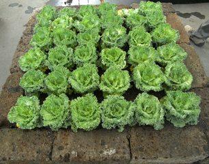 Zierkohl - Zierkohl, Herbst, Herbstbepflanzung, Kohlgewächs, Winterschmuck, Zierpflanze, Kohlgemüse