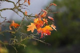buntes Herbstlaub - Herbst, herbstlich, bunt, Laub, Herbstlaub, Abschied, Jahreszeit, Ahorn, Zweig, Ast, Blatt, Blätter