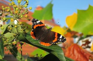 Schmetterling; Admiral - Schmetterling, Admiral, Vanessa atalanta