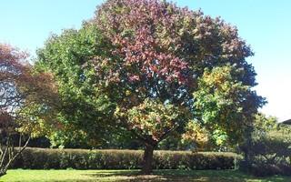 Ahornbaum  - Ahorn, Ahornbaum, Blatt, Blätter, Herbst, Jahreszeiten, Baum, Bäume, Blattverfärbung