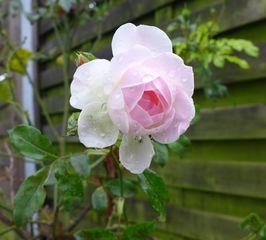 Rose - Rose, Schnittblume, Knospe, Rosengewächs, Naturform, Draufsicht, Rosenblüte, Blüte, Blume, rosa