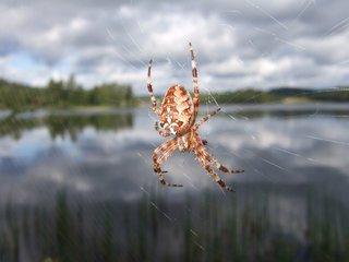 Kreuzspinne - Spinne, Kreuzspinne, Insekt, Spinnenart, Netz, Spinnennetz