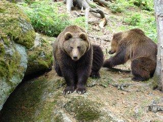 Braunbären - Braunbär, Bär, Natur, Wildtier, Braunbären, zwei