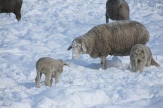 Schafe im Schnee - Haustier, Wolle, Schaf, weich, Nutztier, Milch, Fleisch, Paarhufer, Wiederkäuer, Säugetier, Winter, Schnee