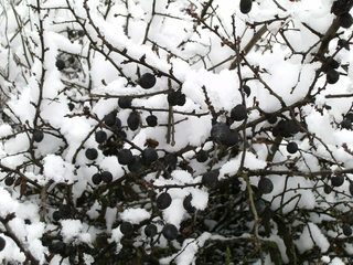 Schlehen im Winter - Schnee, verschneit, Kälte, Einsamkeit, Ruhe, Stille, Schlehen, Strauch