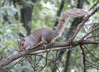 graues Eichhörnchen - Eichhörnchen, springen, Wildtier, Eichkätzchen, klettern, nagen, Nagetier, Baumbewohner, possierlich, Katteker, tagaktiv, grau