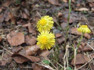Huflattich - Huflattich, Heilpflanze, Korbblütengewächs