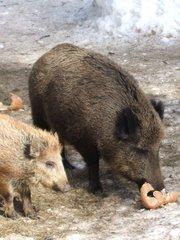 Wildschwein - Wildschwein, Schwein, Frischling, Paarhufer, Säugetier, borstig, Borsten
