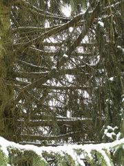 Alte Tanne - Tanne, Baum, Bestandteile, Ast, Zweig, Stamm