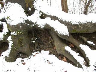 Baumwurzeln - Baum, Wurzel, Holz, Wald, Zeitabschnitt, Schnee, Winter