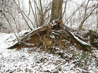 Baumwurzeln#1 - Baum, Wurzel, Holz, Wald, Zeitabschnitt