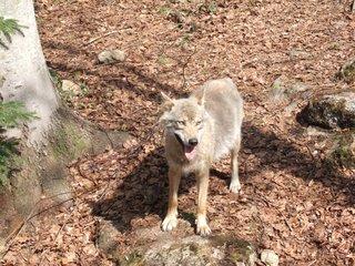 Wolf - Wolf, Raubtier, Rudeltier, hundeartig, Wölfe, Rudel, Freigehege, Canis