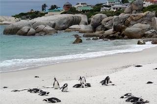 Pinguine beobachten in Bolders Beach_1 - Bolders Beach, Südafrika, Bucht, Strand, Sandstrand, Brillenpinguin, Felsen