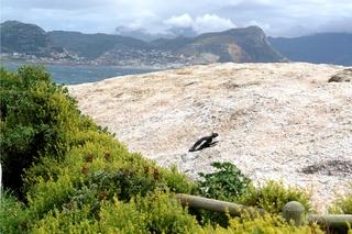 Pinguine beobachten in Bolders Beach_2 - Bolders Beach, Südafrika, Felsen, Sonnenbad, Brillenpinguin, Bucht, Meer, Bergkette