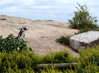 Pinguine beobachten in Bolders Beach_3 - Bolders Beach, Südafrika, Felsen, Brillenpinguin, schwarz-weiß, watscheln