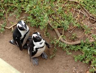 Pinguine beobachten in Bolders Beach_5 - Bolders Beach, Südafrika, Gestrüpp, Brillenpinguin, schwarz-weiß, watscheln, hintereinander