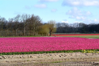 Tulpenfelder bei Alkmaar_1 - Alkmaar, Niederlande, Tulpe, Tulpenfeld, pink, rot, kahl, abgeerntet, Frühling, Kopfweide
