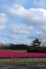 Tulpenfelder bei Alkmaar_2 - Alkmaar, Niederlande, Tulpe, Tulpenfeld, pink, rot, kahl, abgeerntet, Frühling, Kiefer, Kumulus, Kumuluswolke
