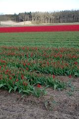 Tulpenfelder bei Alkmaar_3 - Alkmaar, Niederlande, Tulpe, Tulpenfeld, rot, kahl, Blüte, Knospe, Frühling