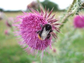 Steinhummel - Steinhummel, Hummel, Insekt, rosa, pink, Blüte, Distel, Hautflügel