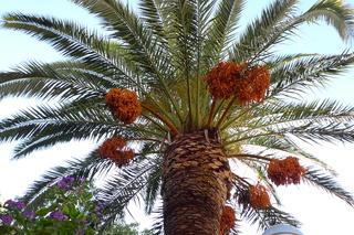 Dattelpalme - Palme, Dattelpalme, Sizilien, Pflanze, Palmengewächs, Früchte, Fruchtstand, Palmwedel, Datteln