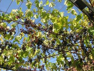 Weinlaube - Wein, Weinlaube, ranken, Rotwein, Rankgewächs, Traubengewächs, Laube